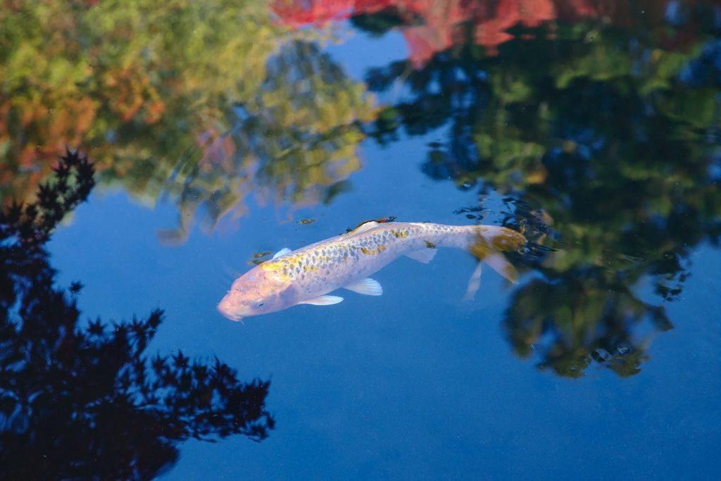 Какую рыбу можно разводить в пруду