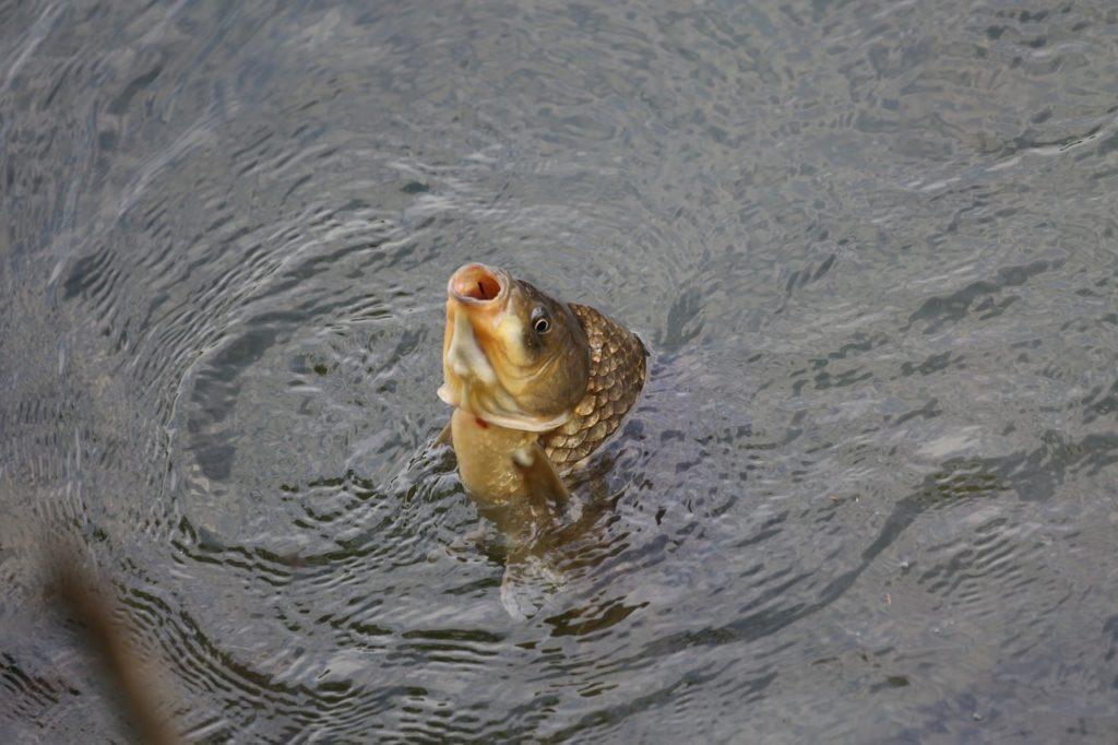 Выращивание рыбы в пруду