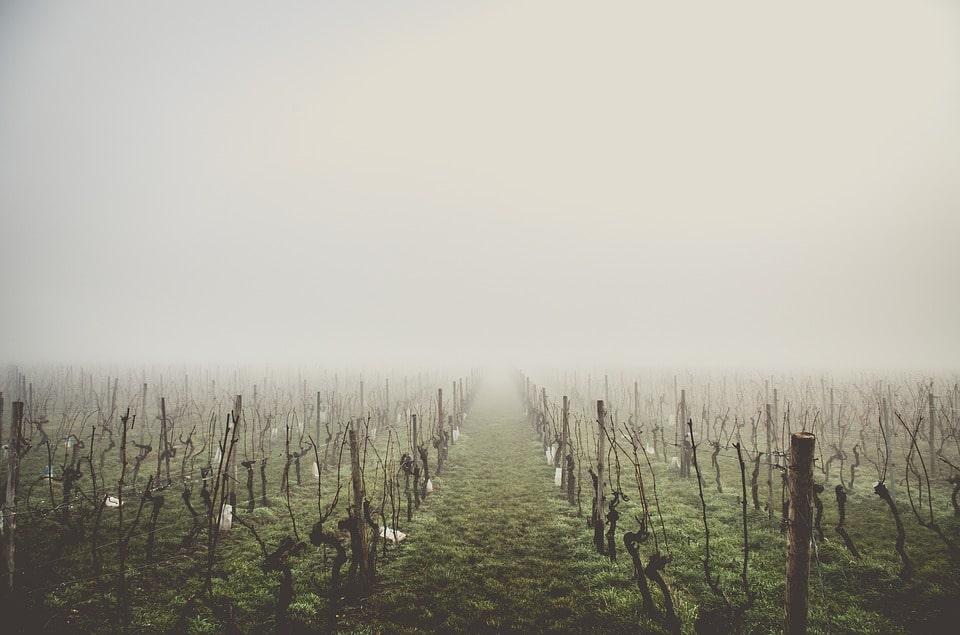 Высаживаем виноград