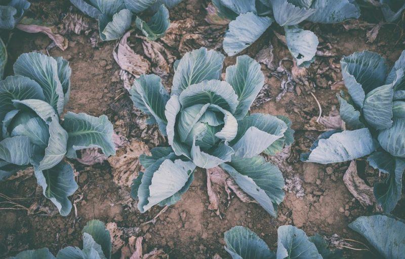 капуста брюссельская выращивание через рассаду пошагово
