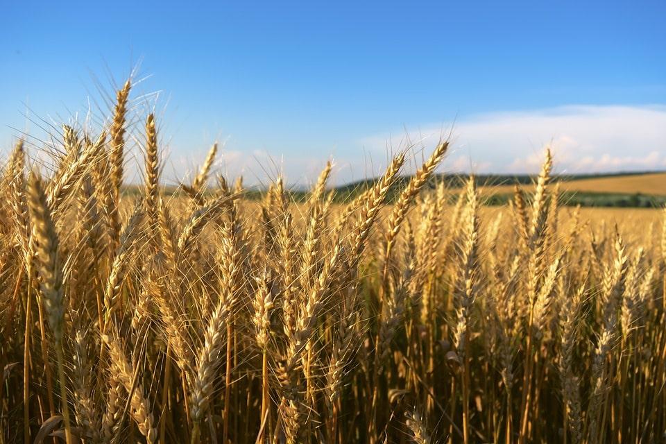 Выращиваем пшеницу