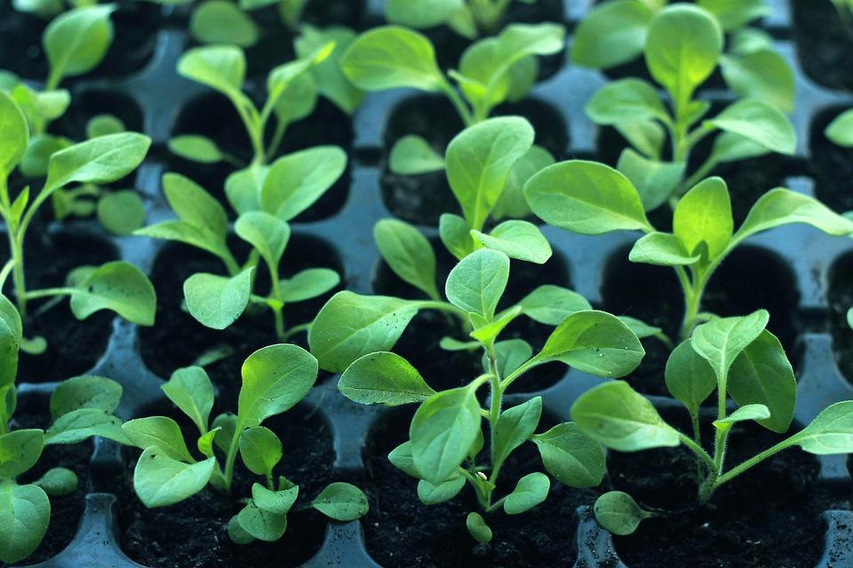 Как вырастить рассаду для продажи