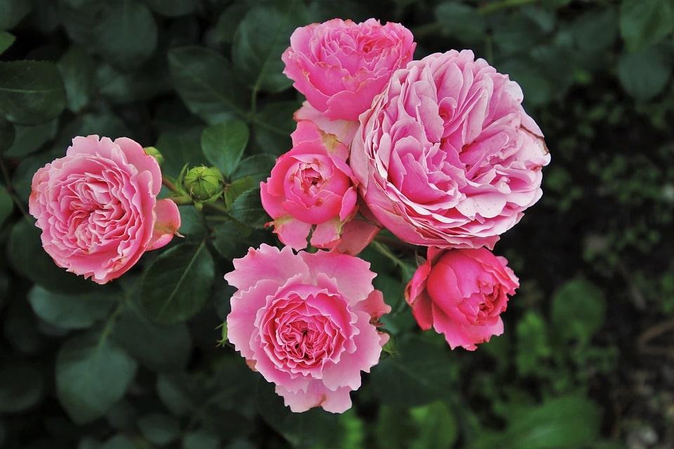 Выращиваем розы на продажу