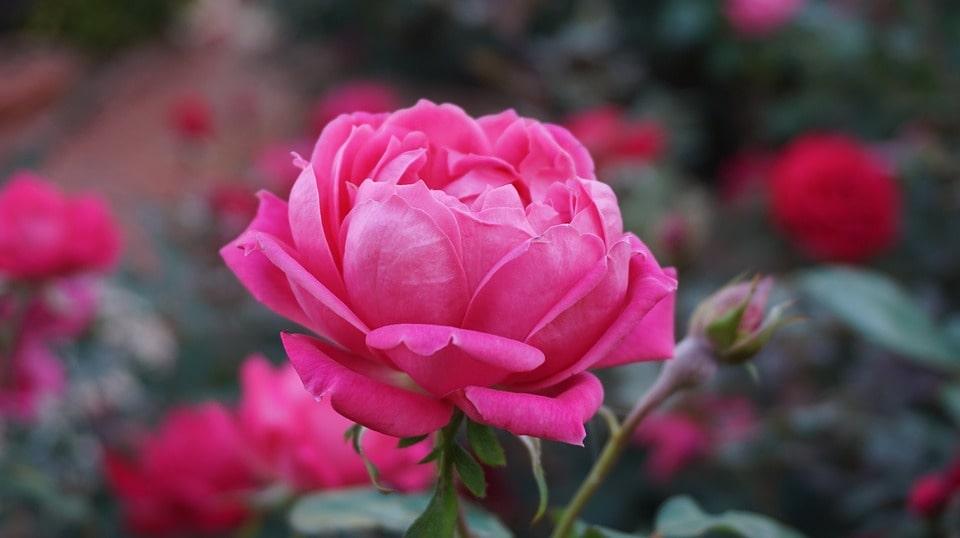 Покупаем саженцы роз на продажу