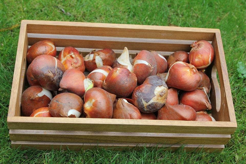 Луковицы тюльпанов покупка и продажа