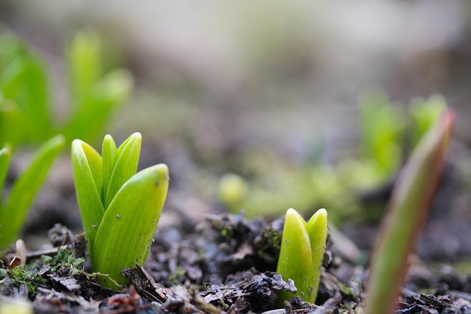 Выращивание тюльпанов зимой на продажу