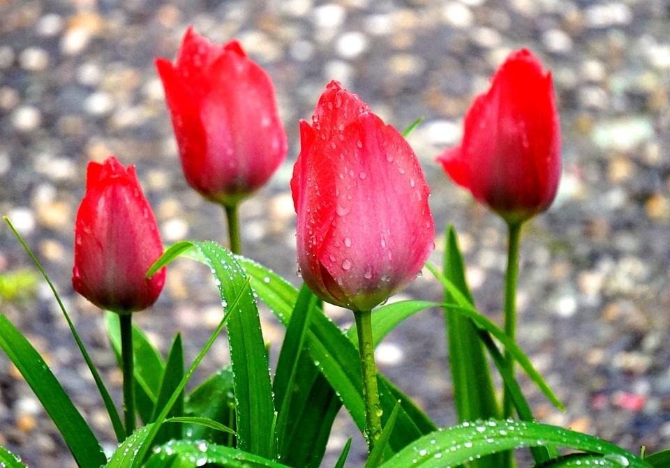 Отзывы о бизнесе на выращивании тюльпанов