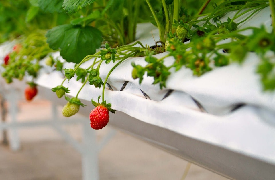 Выращивание клубники круглый год в теплице как бизнес