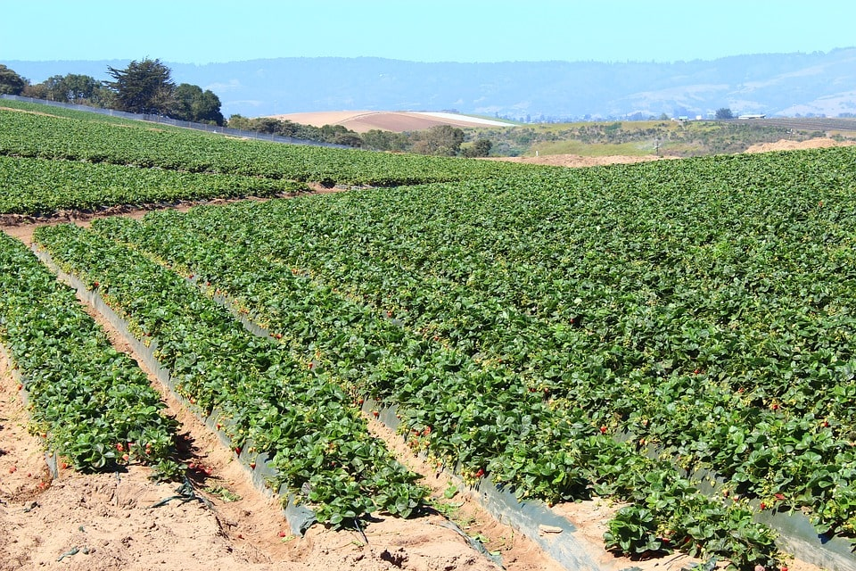 бизнес-план выращивание клубники в открытом грунте