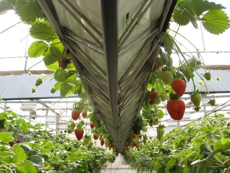 теплица для зимнего выращивания клубники