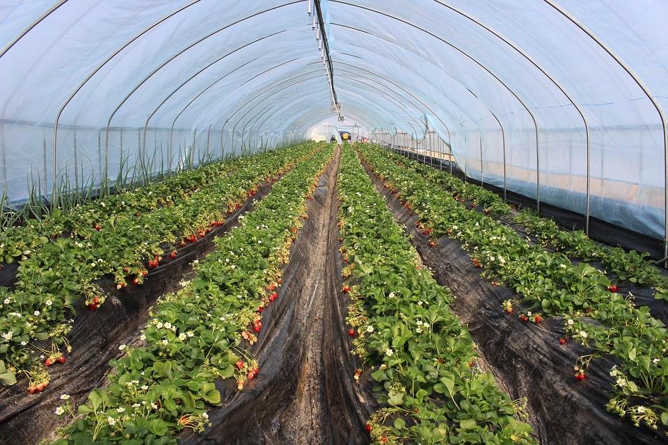 Бизнес промышленное выращивание клубники