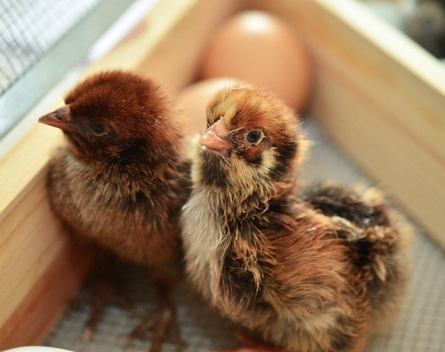 Выращивание цыплят кур