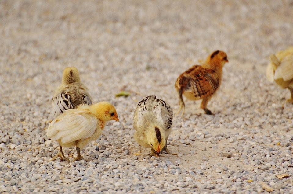Разведение молодняка кур